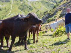 Bufale alpine