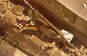 Cane lupo impiccato a Rocca Priora