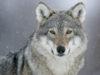 Salva il lupo