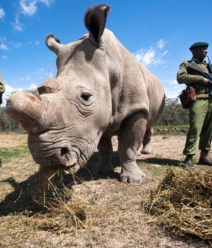 Sudan, l'ultimo rinoceronte bianco