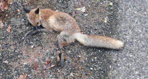 La volpe di Varallo Pombia