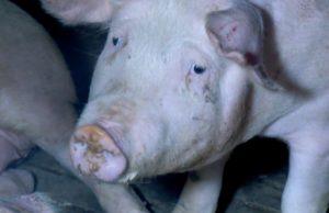 Allevamenti intensivi di maiali