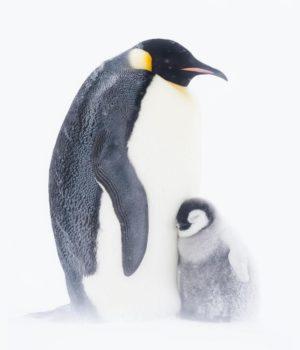 Pinguino imperatore