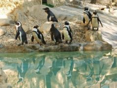 Il pinguino del Capo