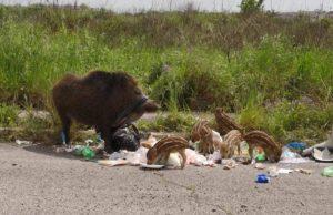 Cinghiali tra i rifiuti