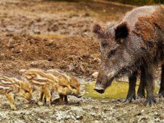 Una famiglia di cinghiali