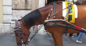 Un cavallo delle botticelle